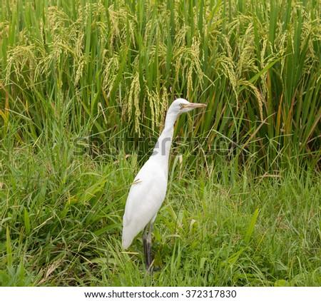White heron on rice field - stock photo