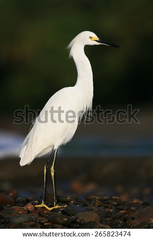 White heron Snowy Egret, Egretta thula, standing on pebble beach in Dominical, Costa Rica - stock photo