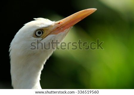 White Heron With Black And Green Background - stock photo