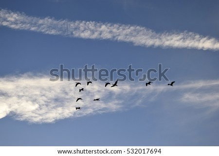White Herons flying just before sunset at Florida, USA