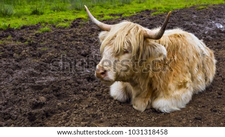 White Highland cow aka Scottish coo rests in dirt.
