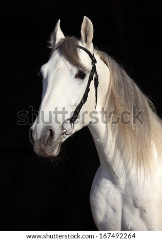 White horse against the black background