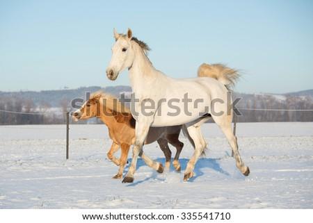 White horse and haflinger runs through snowy landscape - stock photo