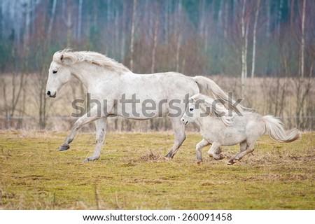 White horse and white shetland pony running on the pasture - stock photo