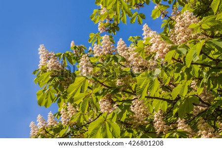 White horse-chestnut tree with blossoming spring flowers against blue sky - stock photo