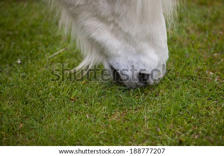 white horse eating grass on meadow