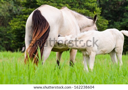 White horse foal suckling from mare in green meadow of Thailand  - stock photo
