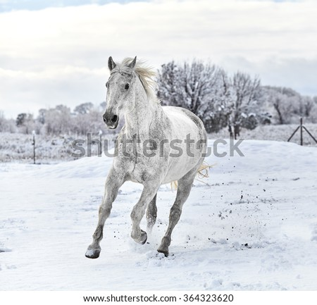 White horse galloping on snow covered ground with trees in the background - stock photo