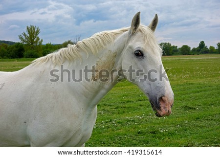 white horse grazes on a green field