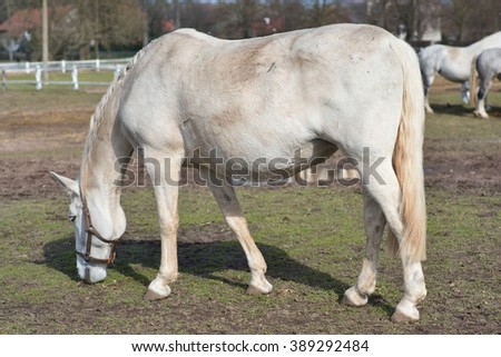 White horse grazing in the corral in Czech Republic. Detailed Picture of the white horse outside on the pasture land in the spring. Breed of horse is Kladrubsky horse one of oldest races in Europe. - stock photo
