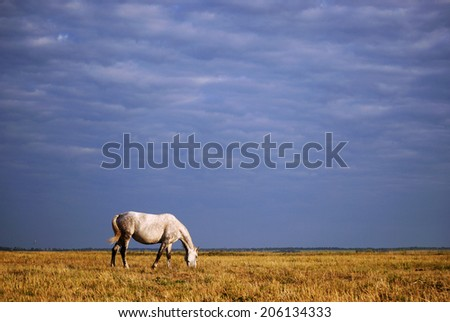 White horse grazing on the field against the blue stormy sky