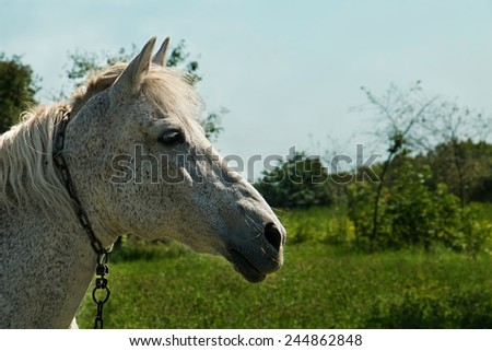 White horse half face on the nature background - stock photo