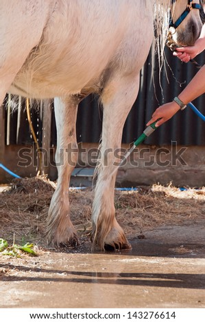 White horse having his legs washed with a hose - stock photo