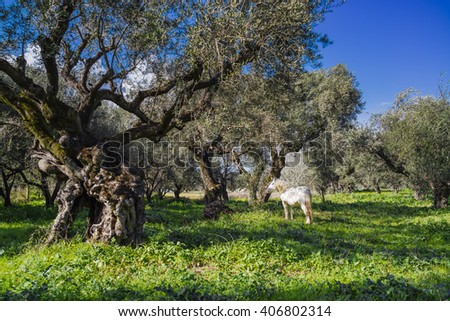 White horse in an olive grove