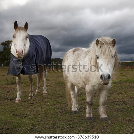 white horse in horse cloth and pony at the field in the countryside - stock photo