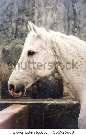 White horse in the Daish royal stables.