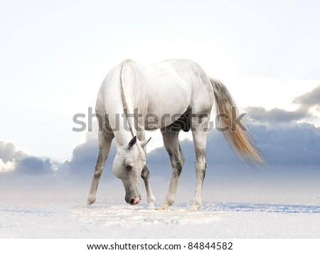white horse in winter background