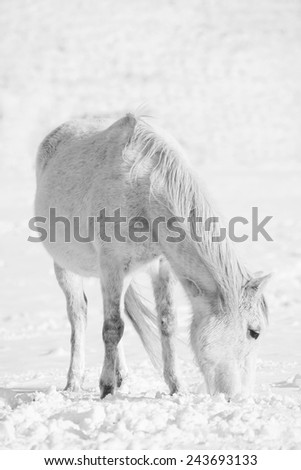white horse in winter snow meadows, hi key black and white portrait