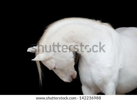 White horse isolated on black background. - stock photo