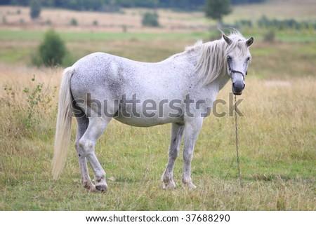 white horse looking towards the camera - stock photo