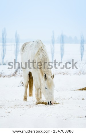 White horse on a snow in winter - stock photo