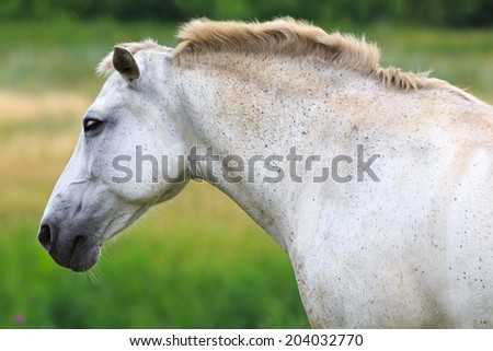White Horse on a summer pasture. - stock photo