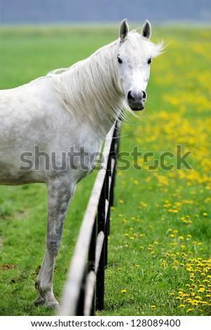 White horse on meadow - stock photo