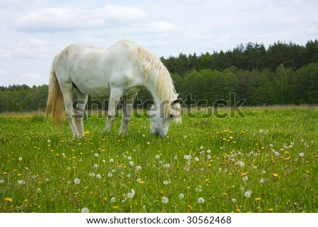 white horse on the meadow - stock photo