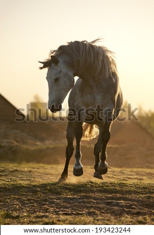 white horse play in morning - stock photo