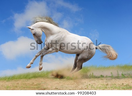 white horse playing in a dust