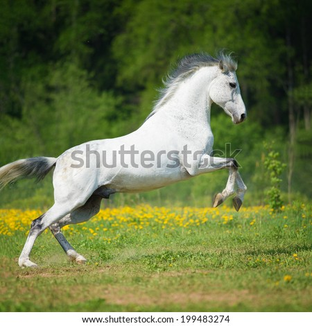 White horse playing on the meadow in summer time - stock photo