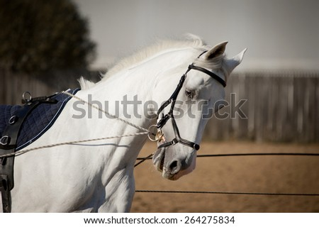 white horse portrait coaching in hands with reins - stock photo