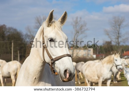 White horse portrait. Detailed Picture of the beautiful white horse head outside on the pasture land in the spring. Breed of horse is Kladrubsky horse one of oldest races in Europe and Czech Republic - stock photo