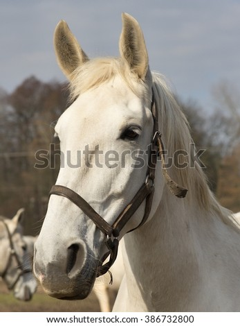 White horse portrait. Detailed Picture of the beautiful white horse head outside on the pasture land in the spring. Breed of horse is Kladrubsky horse one of oldest races in Europe and Czech Republic