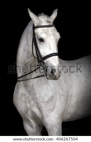 White horse portrait in dressage bridle isolated on black background - stock photo
