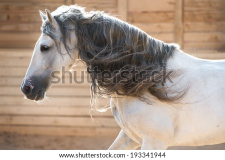 White horse portrait in motion indoors - stock photo