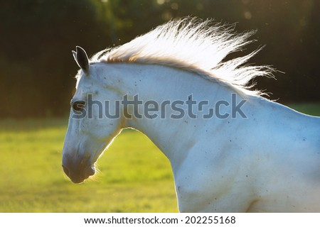 white horse portrait in the sunset lights - stock photo