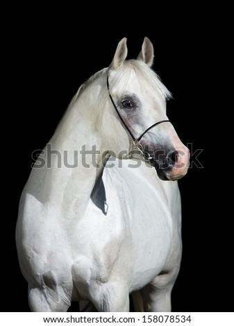 White horse portrait isolated on black background, Arabian horse. - stock photo