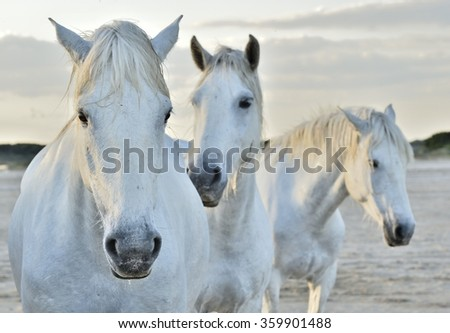 white horse portrait on natural background. Close up. Camargue national park, Bouches-du-rhone region, south France  - stock photo