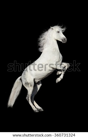 White horse rearing up isolated on black background - stock photo
