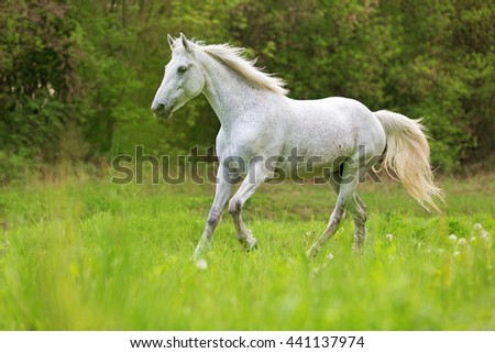 White horse running free in a summer meadow. - stock photo