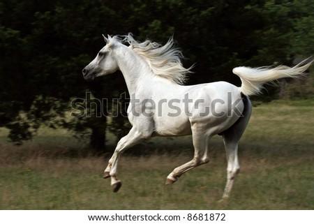 White horse running in pasture - stock photo