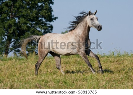 White horse running on the meadow - stock photo
