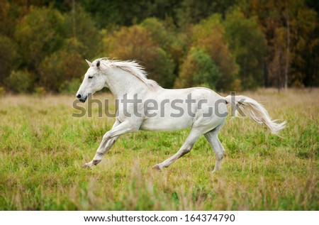 White horse running on the meadow in autumn - stock photo