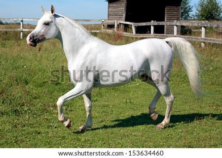 White horse running on the prairie/Arab horse race - stock photo