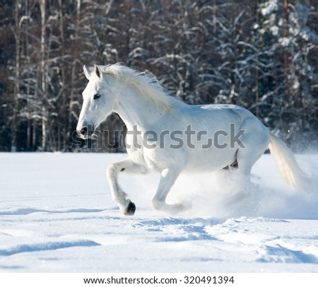 White horse running through tthe snow - stock photo
