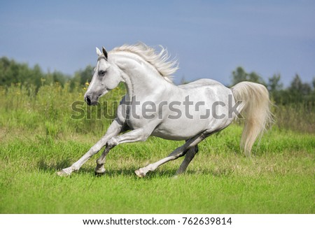 white horse runs gallop in a green field