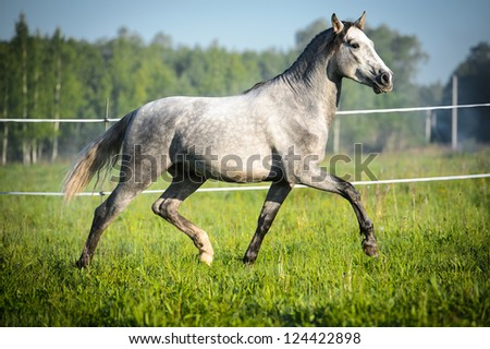 White horse runs trot in summer - stock photo