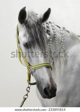 White horse studio shot - stock photo