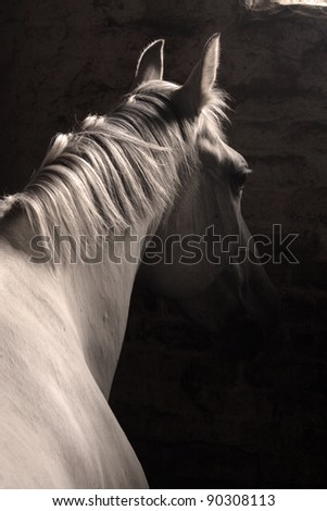 White horse with classic bridle isolated on dark background - stock photo